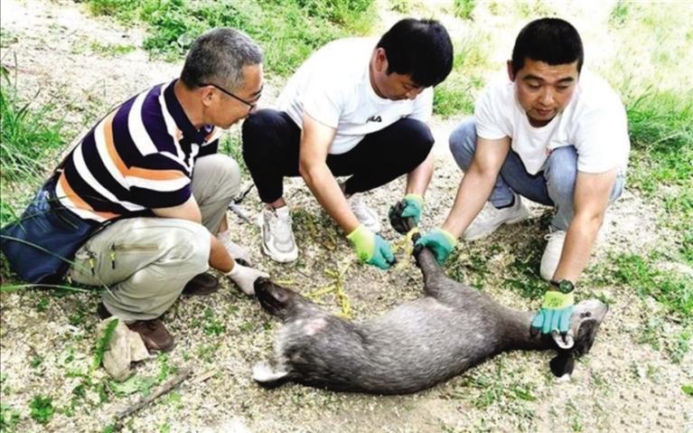 天水麦积区成功救助国家二级保护动物毛冠鹿